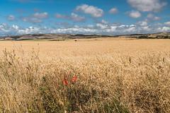 DSG_4447_1.jpg (alfiow) Tags: atherfield chale coastpath fields poppy westwight whalechine