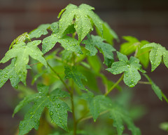 CF003155 (Paul Henegan) Tags: 54crop mamiya645af150mmf28ifdsnhi3007 mamiya645afdii blur garden green leaves rainyday summer waterdroplets