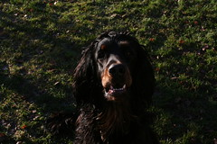 Külitse 22.11 123 (reimo.zoober) Tags: gordon setter dog