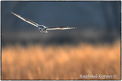 Short eared owl (RKop) Tags: d500 nikkor600f4evr handheld raphaelkopanphotography pickawaycounty ohio nikon shortearedowl