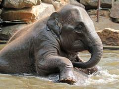 asiatic elephant Blijdorp JN6A0367 (j.a.kok) Tags: olifant elephant asia asiaticelephant azie aziatischeolifant animal blijdorp mammal zoogdier dier herbivore