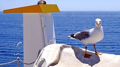 Greece, Macedonia, Aegean Sea, seagull on the boat cruising around Mount Athos peninsula (Macedonia Travel & News) Tags: greecemacedonia agiooros cruise chalkidiki aegeansea macedoniatravel greece makedonia macedoniatimeless macedonian macédoine mazedonien μακεδονια ancient greek culture vergina sun blog star thessaloniki hellenic republic prilep tetovo bitola kumanovo veles gostivar strumica stip struga negotino kavadarsi gevgelija skopje debar matka ohrid mavrovo heraclea lyncestis history alexander great philip macedon nato eu fifa uefa un fiba macedonianstar verginasun macedoniapeople macedonians peopleofmacedonia macedonianpeople macedoniablog macedoniagreece timeless македонија macedonianews macedoniapress македонијамакедонскимакедонци tourism macedonia