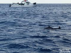 Hawaii_2017_1055 (Christen Ann Photography) Tags: 2017 dolphin dolphintour dolphins hawaii hawaii2017 holidays landscape november2017 ocean ohau usa