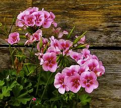 Happy Sunday! (Kat-i) Tags: blumen schliersee bayern deutschland flowers geranien geraniums macro rosa pink makro holz nikon1v1 kati katharina 2018