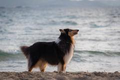 32/52 Leia & proud (shila009) Tags: leia perro dog roughcollie beach sand playa arena verano summer light luz mar sea portrait profile proud 3252 52weeksfordogs
