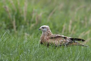 Young red kite, Milvus milvus, Kania Ruda