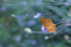 passerà (@5imonapol) Tags: butterfly bug life bokeh light august summer macro wings nature