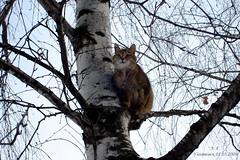 Высоко сижу, далеко гляжу... (Aleksey Guskov) Tags: ульяновск россия кот кошка береза ulyanovsk russia cat birch