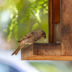 Female House Finch grabbing a chunk of peanut from the squirrel feeder (suzeesusie) Tags: finch housefinch bird feathers wings garden feeder eating animal nature outdoors tree