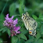 European Swallowtail Papilio machaon thumbnail