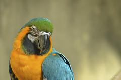 Blue & Gold macaw (R. M. Marti) Tags: guacamayo pajaro ave animal plumas macaw bird feathers