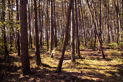 Pine Forest (Christian Hacker) Tags: pineforest pinetrees erlabrunn mainfranken franconia forest crooked trees sunshine sunny nature outdoors hot summer germany sunlit canon eos50d tamron 1750mm leaning trunks bavaria grass heat dry