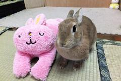 Ichigo san 1262 (Ichigo Miyama) Tags: いちごさん うさぎとうさぎ ichigo san rabbitbunny cute netherlanddwarf brown ネザーランドドワーフ ペット うさぎ いちご ぬいぐるみ ぬいどりrabbit bunny ぬいどり