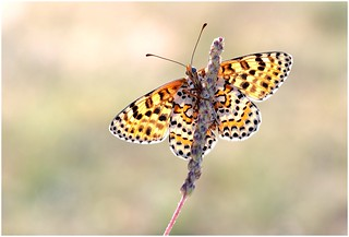 Spotted Fritillary (F)
