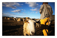 Wide-angled Star (Eline Lyng) Tags: farm farmanimal sheep lamb wideangle field sheepfield 15mm voigtlander voigtländer voigtländerheliar15mm leica m m240 leicam240 rangefinder manualfocus fujifilm fujichromevelvia100 silverefex fun littledoglaughedstories