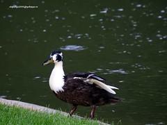 DSCN0678 Goose (vlupadya) Tags: greatnature aves faubna goose paris france