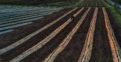 Strawberry fields forever III (ramerk_de) Tags: beerenmeile regensburg erdbeerfeld sunrise burgweinting bayern ratisbone hdr papstwiese upperpalatinate