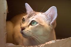 Elsie (pouncealot) Tags: cat catportrait gorgeous box pet petportrait eye green aww beautiful