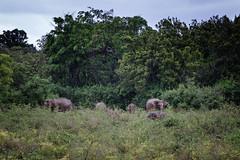 Sl_1387.jpg (lexx79) Tags: 2018 xf1855mmf284rlmois fujixpro2 nationalpark fuji xpro2 srilanka kaudullanationalpark fujifilm srilankanelephant