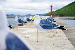かもめ (Eric Flexyourhead) Tags: megijima 女木島 takamatsu takamatsushi 高松市 kagawa kagawaken kagawaprefecture 香川県 setonaikai 瀬戸内海 setouchi japan 日本 art artwork artinstallation setouchitriennale takahitokimura kimuratakahito seagull seagulls かもめ pier jetty repetition shallowdepthoffield sonyalphaa7 zeisssonnartfe55mmf18za zeiss 55mmf18