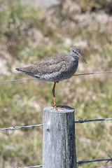 Fly by wire? (skipnclick) Tags: common redshank bird wader perch one lef wire support nikon d500 300mm pennington marshes