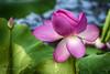 One More Lotus (jmhutnik) Tags: lotus lily waterlily pond westvirginia leaf mcclinticwildlifemanagementarea summer pink july