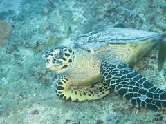 Hawkbill (roger_forster) Tags: eretmochelysimbricata hawksbillturtle maldives indianocean arabiansea underwater diving scuba