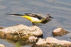 IMG_7804.jpg (TonyJ 3006) Tags: birds greywagtail places slimbridge