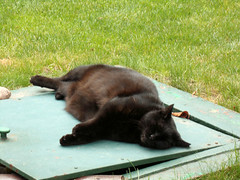 Cat after lunch... (transport131) Tags: kot cat animal zwierzę ogród garden lato summer