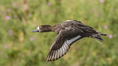 Air miles make me smile (Paul Wrights Reserved) Tags: duck ducks smile smiling wing wings eye duckinflight flying fly flyingbird flyingduck feathers feather closeup bird birding birdinflight birds birdwatching bokeh bokehphotography nature naturephotography wildlife wildlifephotography wildanimal
