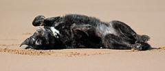 Cherish every particle! (Pog's pix) Tags: happy fun dog pet poppy cute rolling behaviour beach stcyrus stcyrusbeach stcyrusnaturereserve scotland aberdeenshire animal sand funny outdoors outdoor outside
