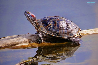 Western Red-eared Painted Pond Turtle 4194