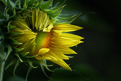 Blooming sunflower (jessiemann1) Tags: yellow flower blooming sunflower potomac maryland summer 2018 sony a7rii a7r2 24240mm lens vignette romantic petal highlights soft mysterious petals focus