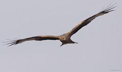 Red Kite - Rode Wouw - Milvus milvus -5350 (Theo Locher) Tags: redkite rodewouw milanroyal rotmilan milvusmilvus duitsland germany vögel vogels birds oiseaux copyrighttheolocher