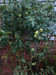 217/365 : Tomato plant