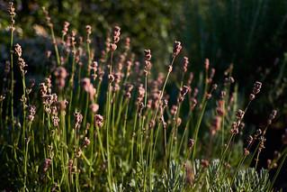 Dry lavender sunset