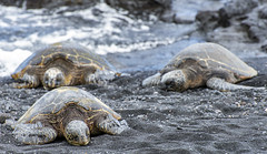 Nap Time (acase1968) Tags: punaluu black sand beach turtles big island hawaii nikon nikkor 70300mm d600 hawksbill sea endangered eretmochelys imbricata critically