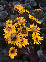Bees on Britt Marie Crawford (markshephard800) Tags: flowers britt marie crawford fleurs bees blumen bloemen fiori flores flora yellow nature