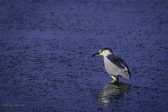 Black-crowned Night-Heron (halladaybill) Tags: bolsachicaecologicalreserve huntingtonbeach california unitedstates us orangecounty seaandsageaudubonsociety cornelllabofornithology auduboncalifornia nikond850 nikkor80400zoomlens bird