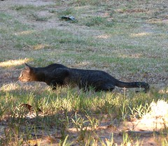 long lean and ready (country lovers) Tags: cat hunting oklahoma feline kitty nature countrside pet