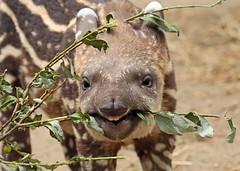 South american tapir Artis JN6A0818 (j.a.kok) Tags: tapir southamerica southamericantapir zuidamerika zuidamerikaansetapir animal artis mammal zoogdier dier herbivore babytapir