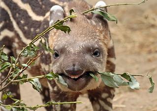 South american tapir Artis JN6A0818