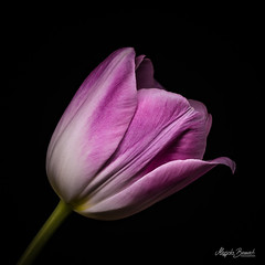 Pink tulip (Magda Banach) Tags: canon canon80d sigma150mmf28apomacrodghsm blackbackground colors flora flower flowers macro nature pink plants tulip