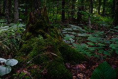 Moss-Covered Stump on the Moss Lake Trail (John Brighenti) Tags: adirondacks newyorkstate newyork mountains summer vacation outdoors hiking trail path nature green leaves trees mosslake moss ground dirt photography photo sony alpha a7 sonyshooter
