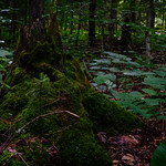 Moss-Covered Stump on the Moss Lake Trail thumbnail