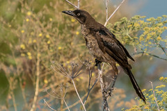 A Great Lady (MelRoseJ) Tags: sanrafael california unitedstates us lasgallinas birds nature northerncalifornia bayarea sonyalpha sony sonyilca77m2 sal70200g greattailedgrackle