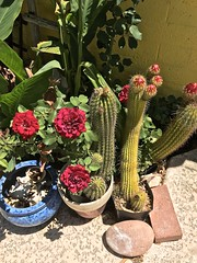 Rose And Echinopsis Fantasia (Chic Bee) Tags: echinopsis cactus flower buds colorful colors textures patterns flora colori colores colours couleurs flowerpots garden fantasia roses flowers