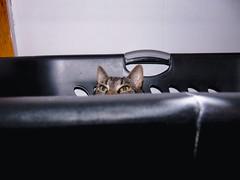 DSC01262 (MykeOwns) Tags: tabbycat tabby cat cats