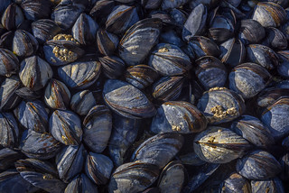 Mussels at Godrevy, Cornwall