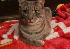 LOST cat in #Highwood. DSH, grey tabby Pls share watch RT to get home YYC Pet Recovery shared Briana Lee's post. LOST cat! Highwood area in Calgary NW. DSH, NM, 2 yrs old, grey tabby, has a heart tattoo in his ear and a microchip. Please like, share and h (yycpetrecovery) Tags: ifttt august 17 2018 lostcat lost cat tabby tabbywhite grey greywhite highwood dsh tattoo hearttattoo male microchip 2years